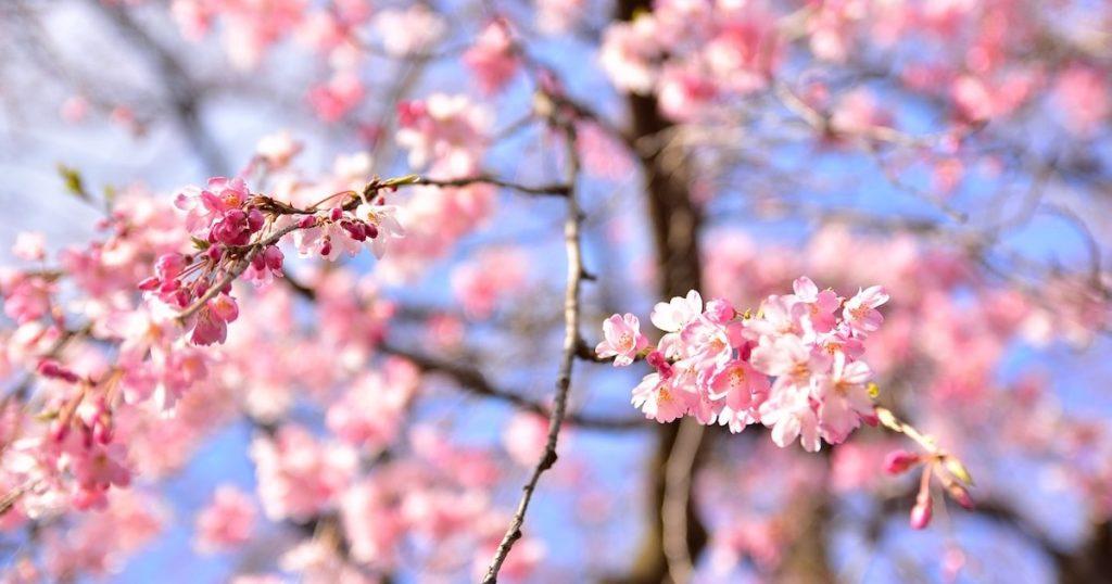 東京粉紅路線這樣走!櫻花名所景點攻略
