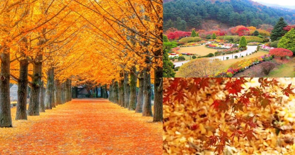 【韓國京畿道】追逐秋楓的旅程┋CNN評選必訪之地「晨靜樹木園」+「南怡島」一日遊