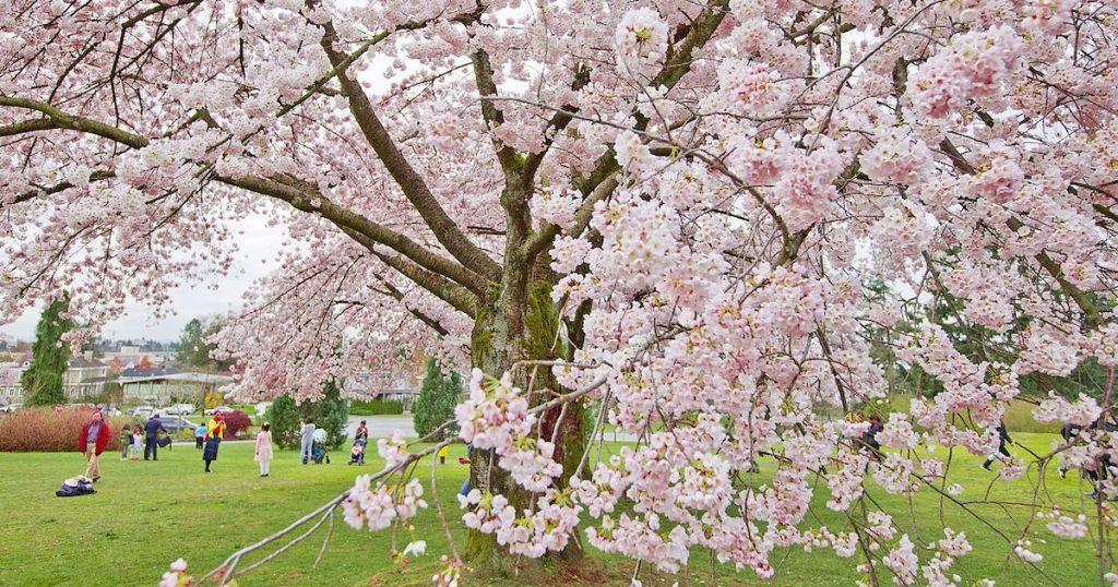加拿大櫻花也好美!溫哥華・多倫多賞櫻勝地攻略