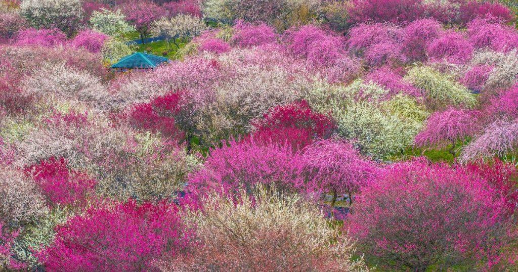 粉紅色的春天!除了追櫻還有這些賞花勝地,先列入未來的旅日口袋名單