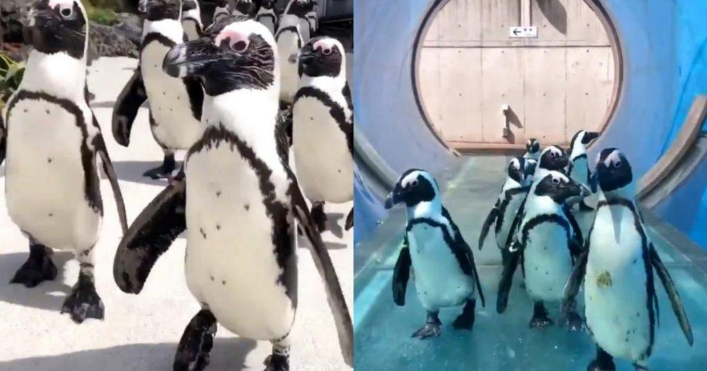 人類止步!只有企鵝能趴趴走! 想看企鵝遊行就去這些水族館