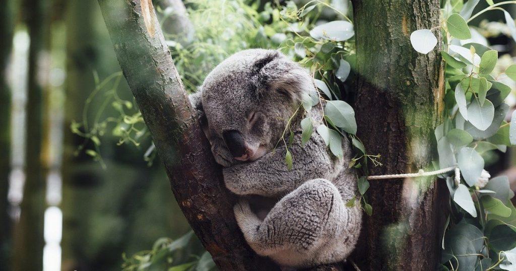 好療癒!和澳洲萌主無尾熊親密接觸